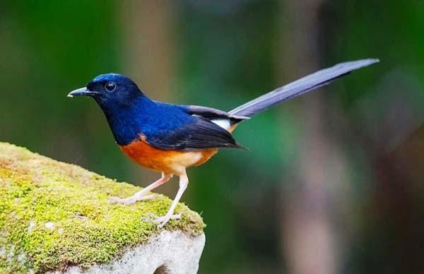berbisnis burung kicau