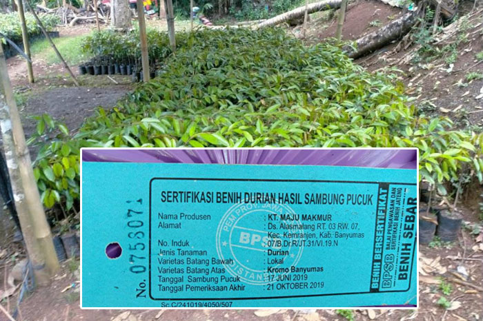 Bibit durian berlabel berkualitas