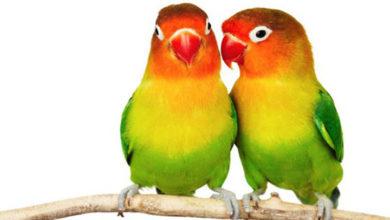 Merangsang Kicau Burung Lovebird