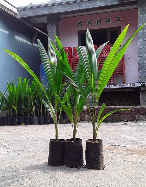Harga bibit kelapa kopyor