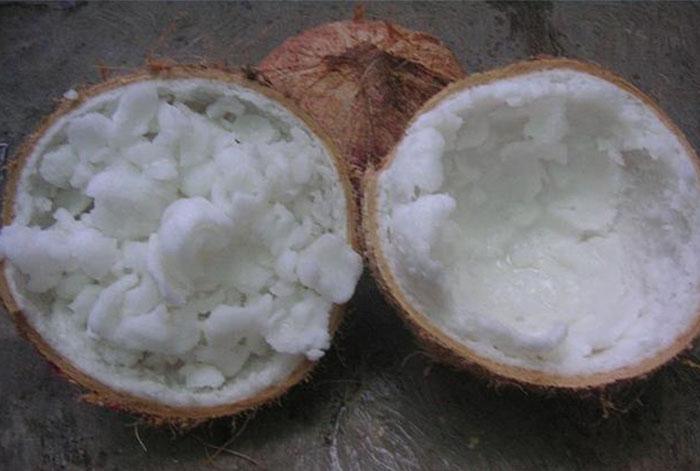 bibit kelapa kopyor genjah